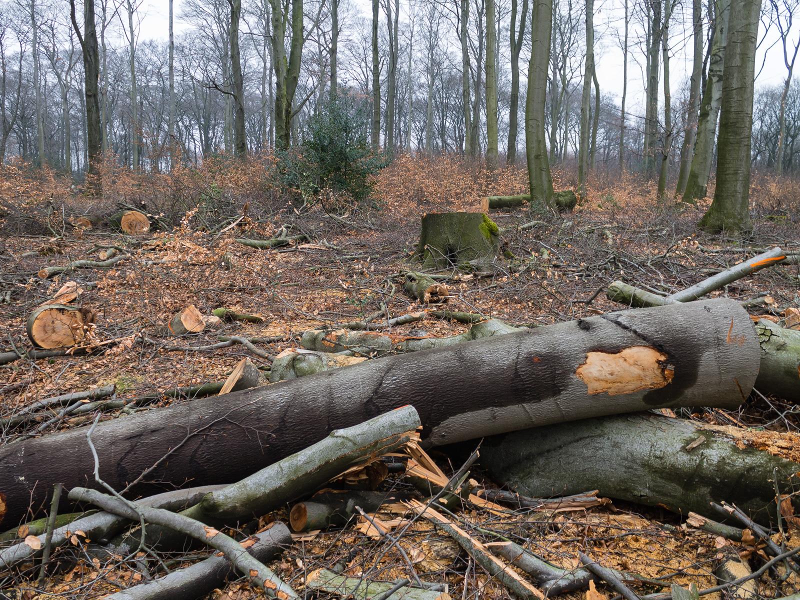 Baumstämme inmitten eines Felds schwer geschädigter Jungbuchen