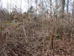 Brombeeren, Gräser und Adlerfarn überwuchern jungen Buchen und Birken