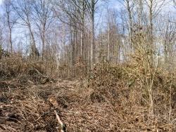 Brombeeren, Gräser und Adlerfarn überwuchern junge Buchen und Birken