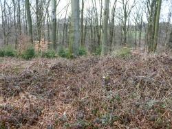 Brombeeren und Adlerfarn ersticken den Boden im Buchenwald