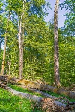 starkes liegendes Totholz auf Windwurffläche