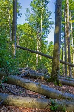 Windwurffläche mit mehreren umgestürzten Altbuchen