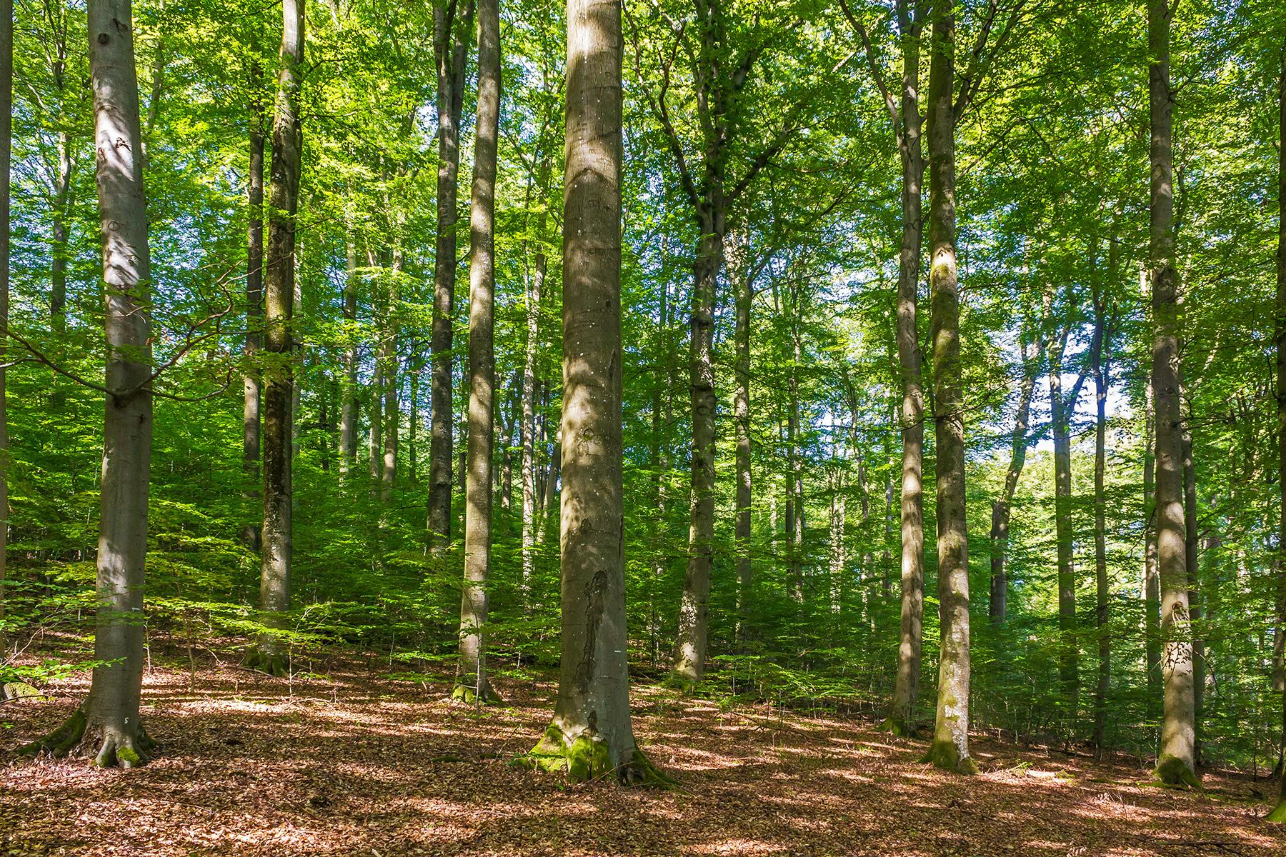 210 Jahre alter Buchenwald mit Urwaldmerkmalen
