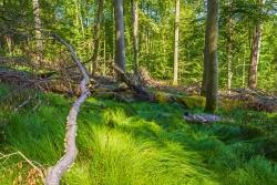 liegendes Totholz am westlichen Rand der Windwurffläche