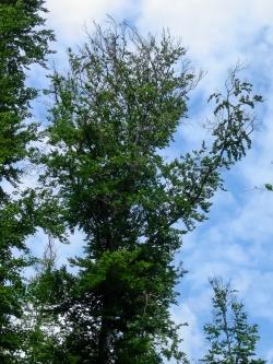 Wertvoller Habitatbaum