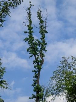 geschützter Uraltbaum