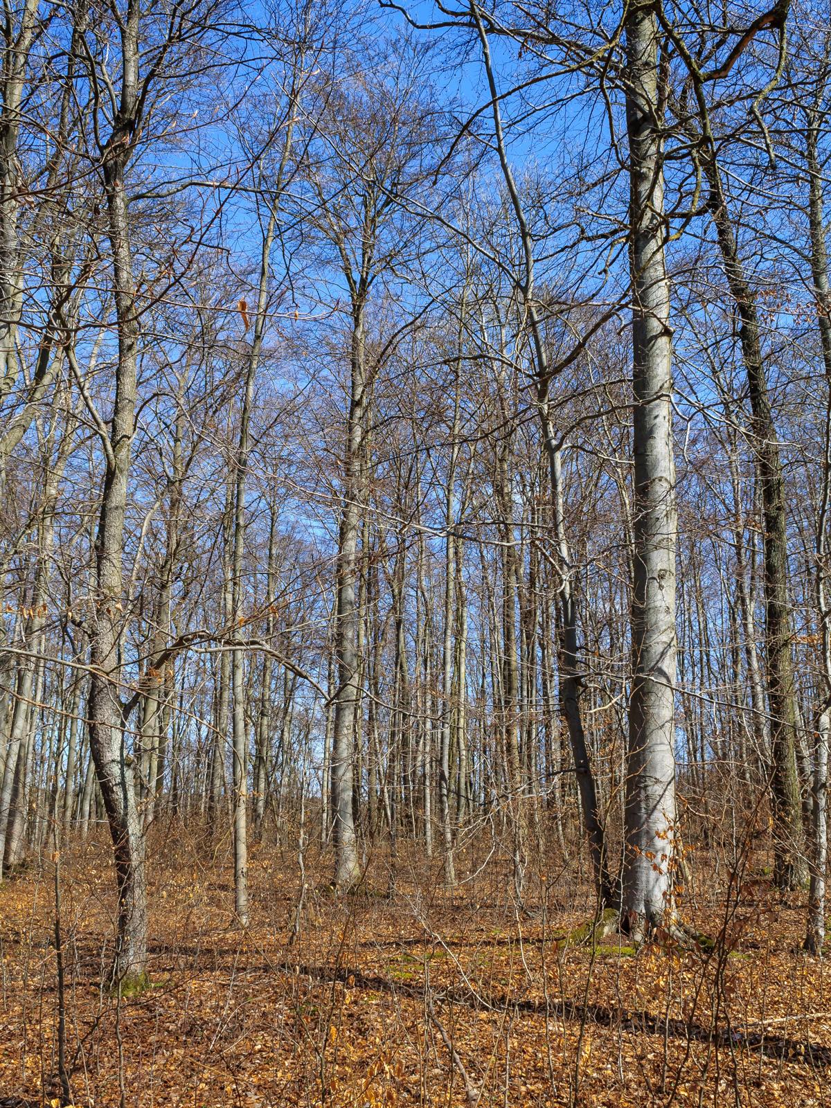Buchenwald an der Langen Straße
