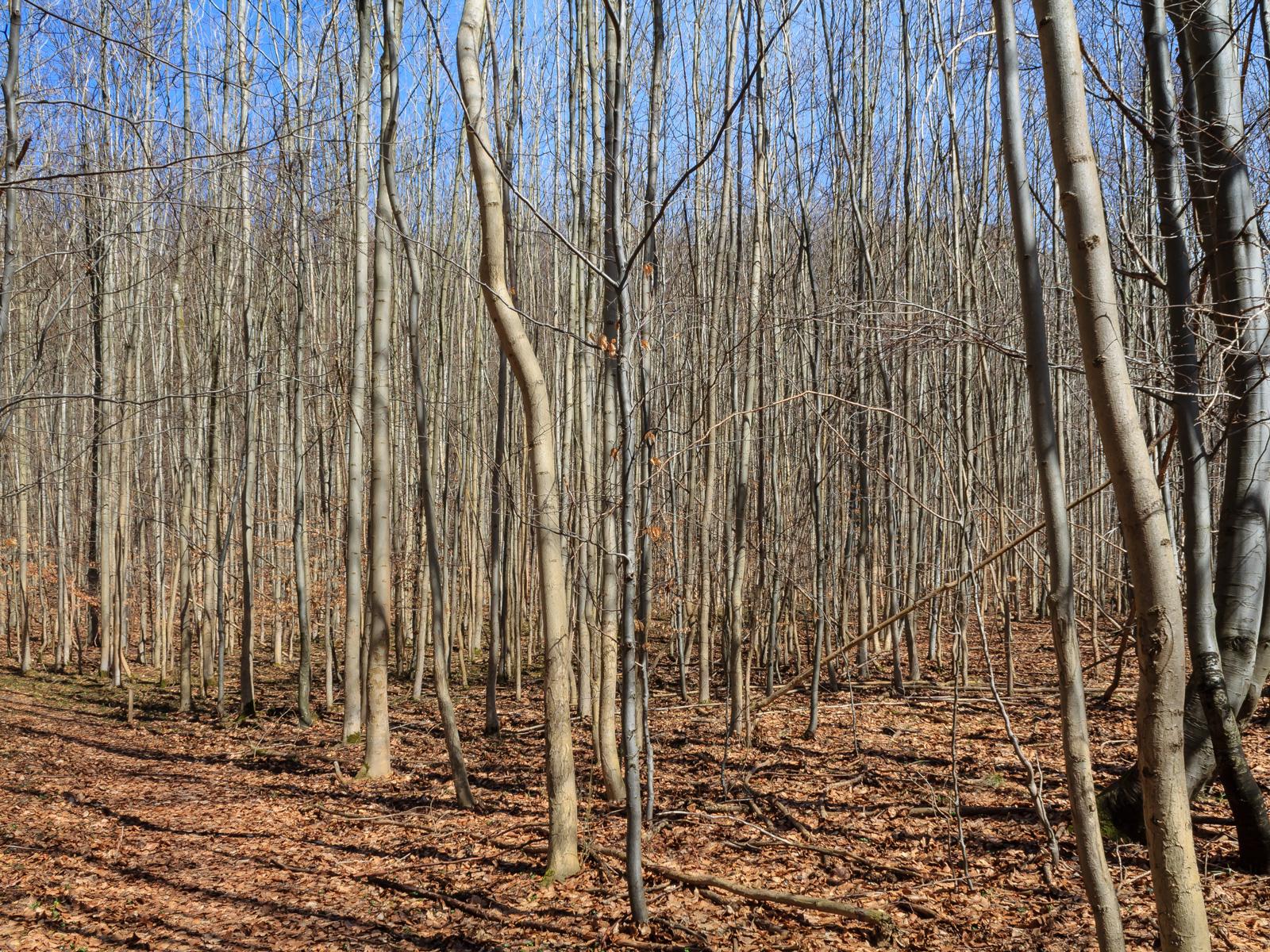 Buchenstangenholz am Kalkgrund