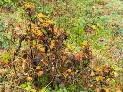 Buchenbüsche mit dicken Stämmchen und verbissenen Leittrieben
