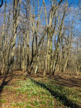 Märzenbecherblüte im Buchenwald