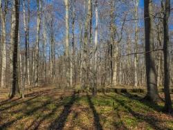 Bärlauchrasen im Buchenwald