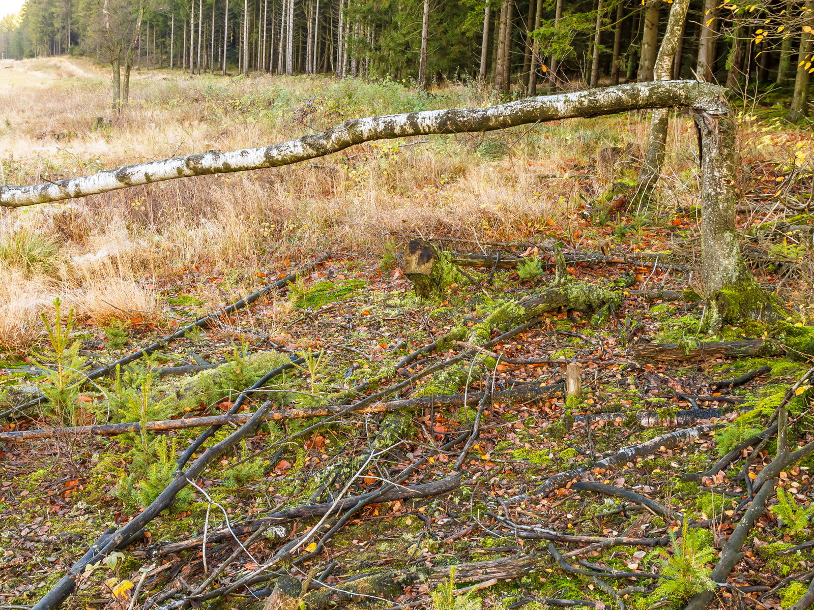 abgebrochene Moorbirke auf humusarmem Boden