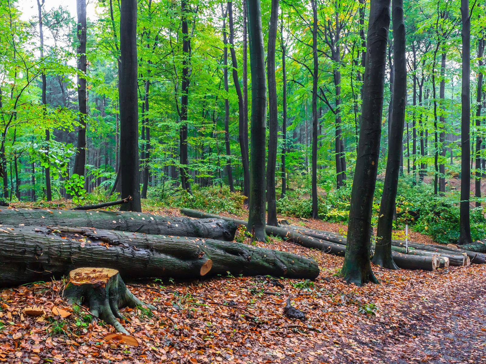 Buchenlangholz am Rande des Forstwegs