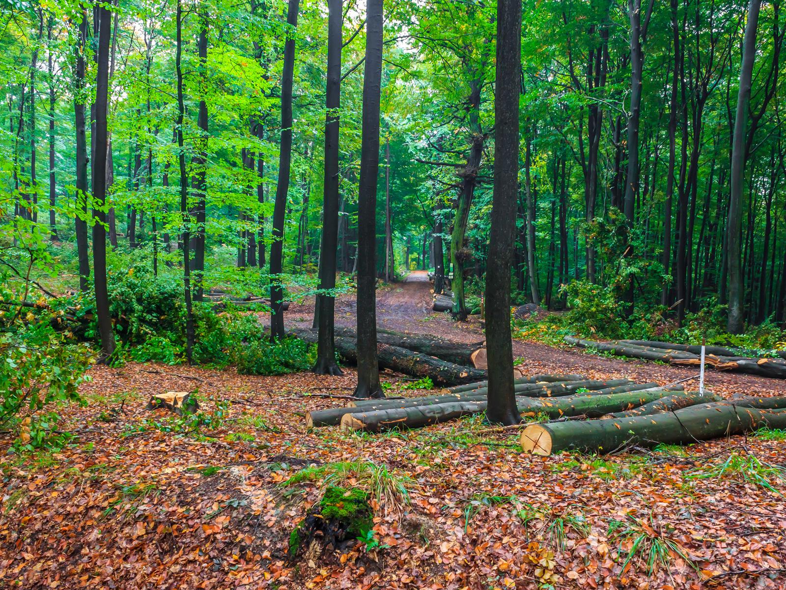 Buchenlangholz am Wanderweg nach Bad Eilsen