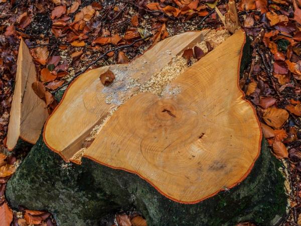 100 Jahre alter Baumstumpf