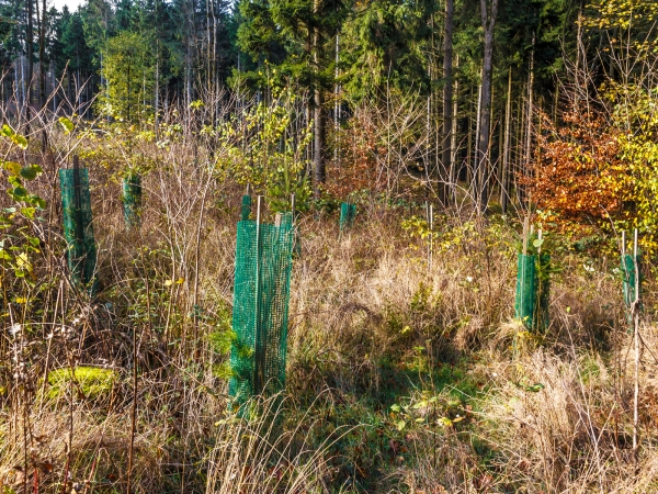 Douglasien in Schutzhülle gegen Wildverbiss