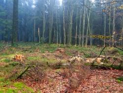 im Hintergrund: abgebrochene Laubbäume mit schweren Rindenschäden