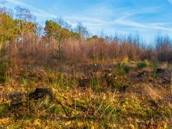 im Hintergrund Birken-Vorwald auif Douglasienkahlschlag