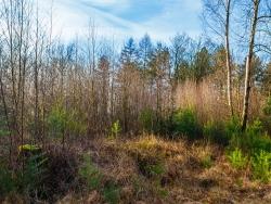 Vorwald mit Birken und zahlreichen Kiefern