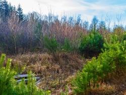 angeblich geringes Ausbreitungspotential: die Waldkiefer