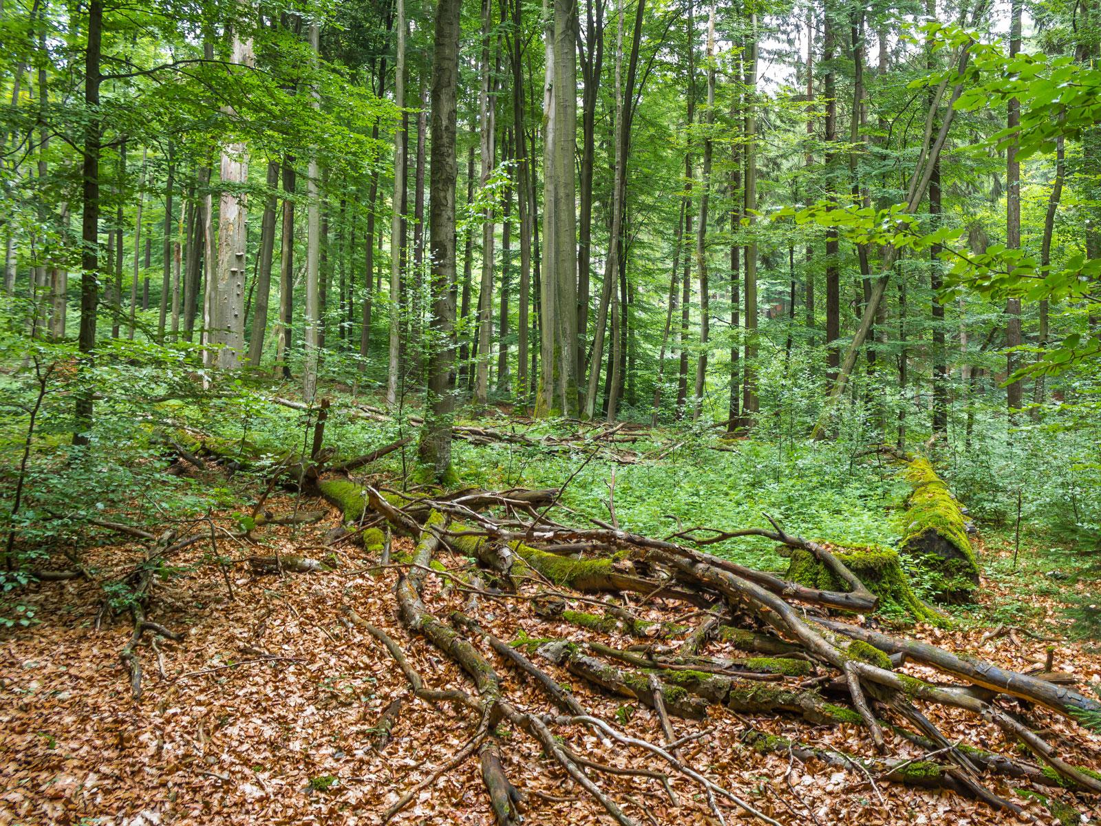 uralte liegende Biotopbäume