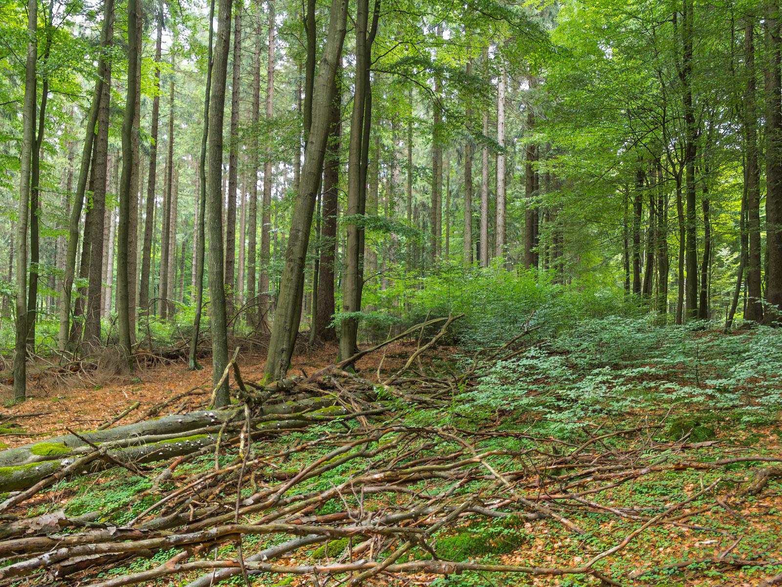 Biotopbäume mit Zunderschwamm