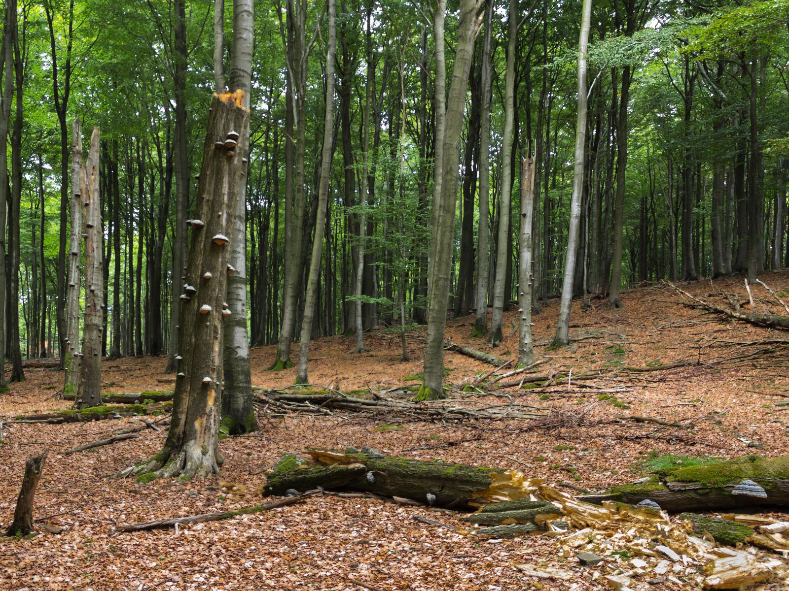 5 stehende Biotopbäume, eng beieinander