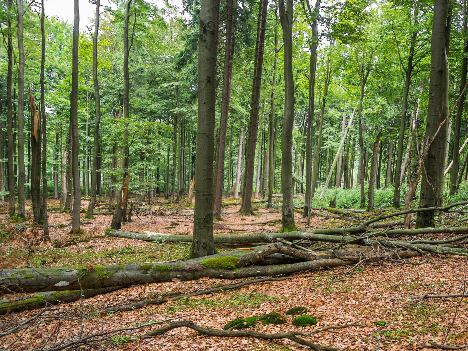 beeindruckender Totholzreichtum