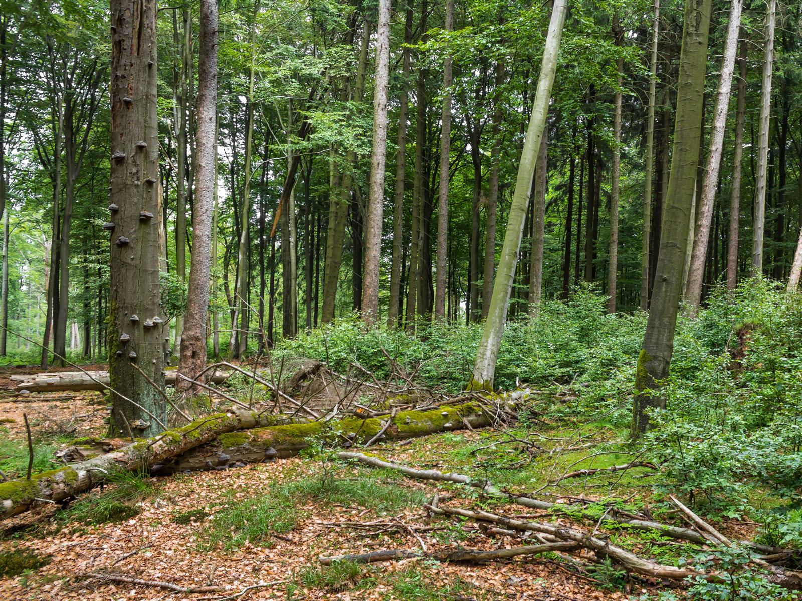 Totholz und Naturverjüngung