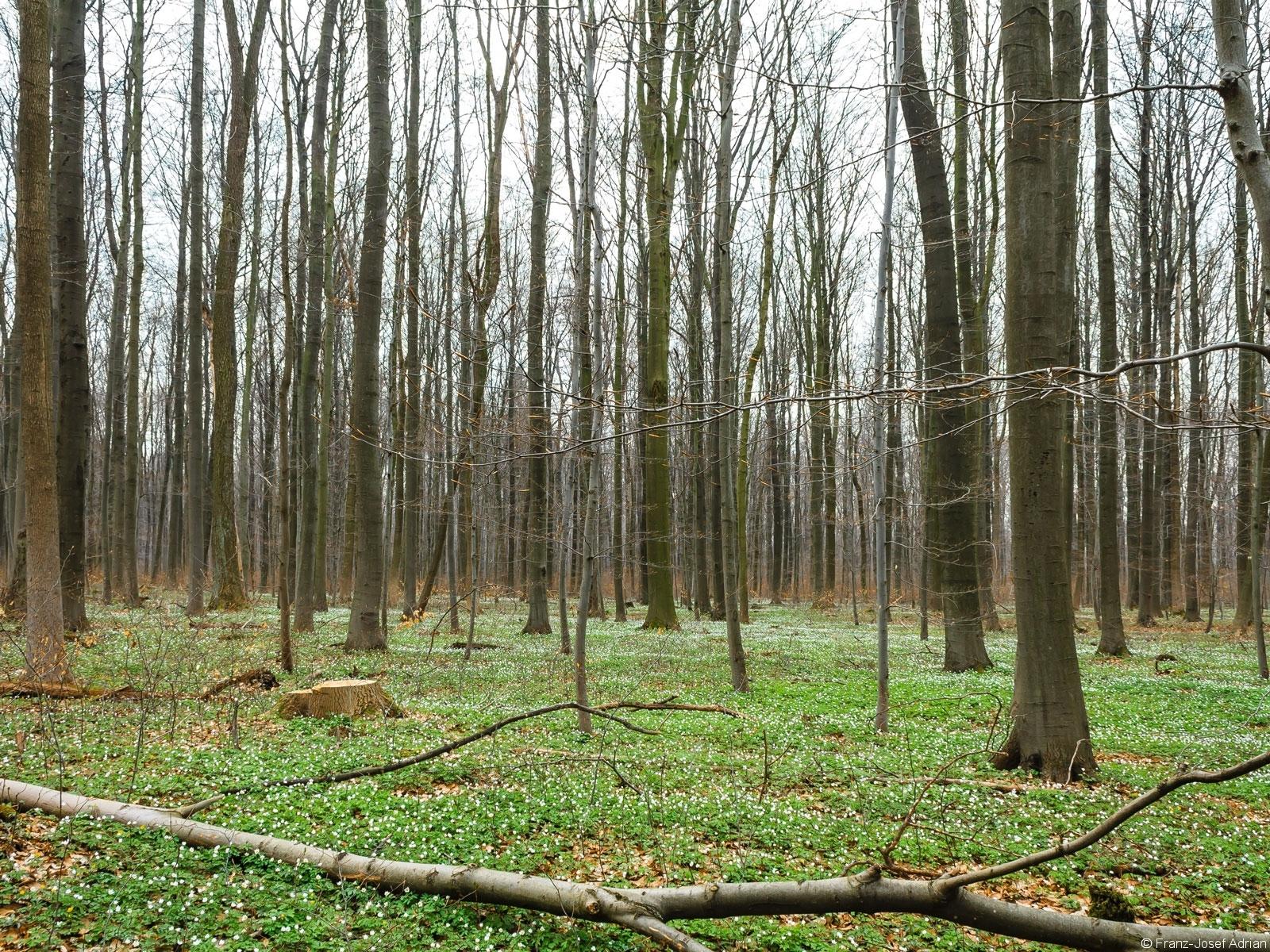Buschwindröschen um Baumstumpf