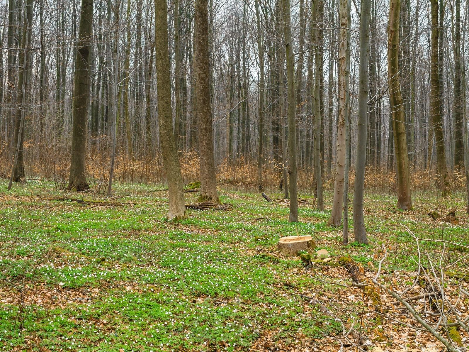 Baumstumpf inmitten von Buschwindröschen