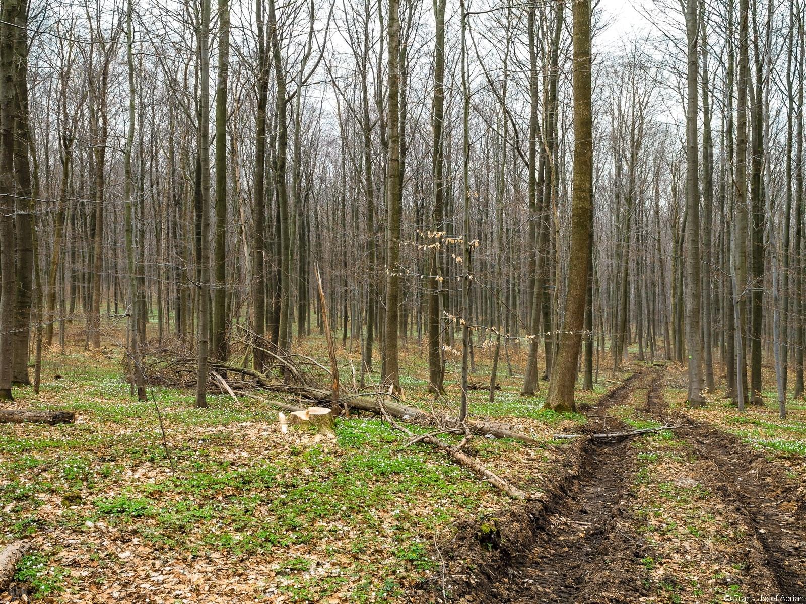 Rückegasse mit Baumstumpf