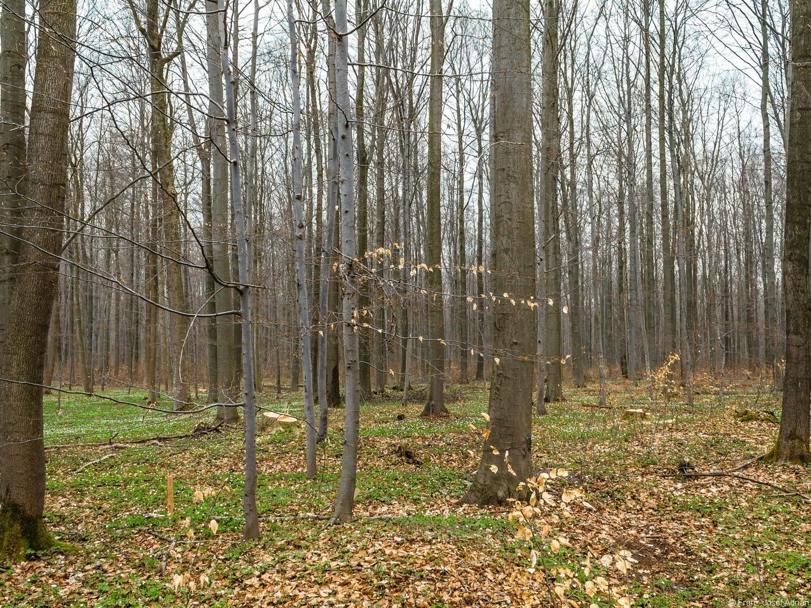 hinter Buchenstangenholz verborgener Baumstumpf