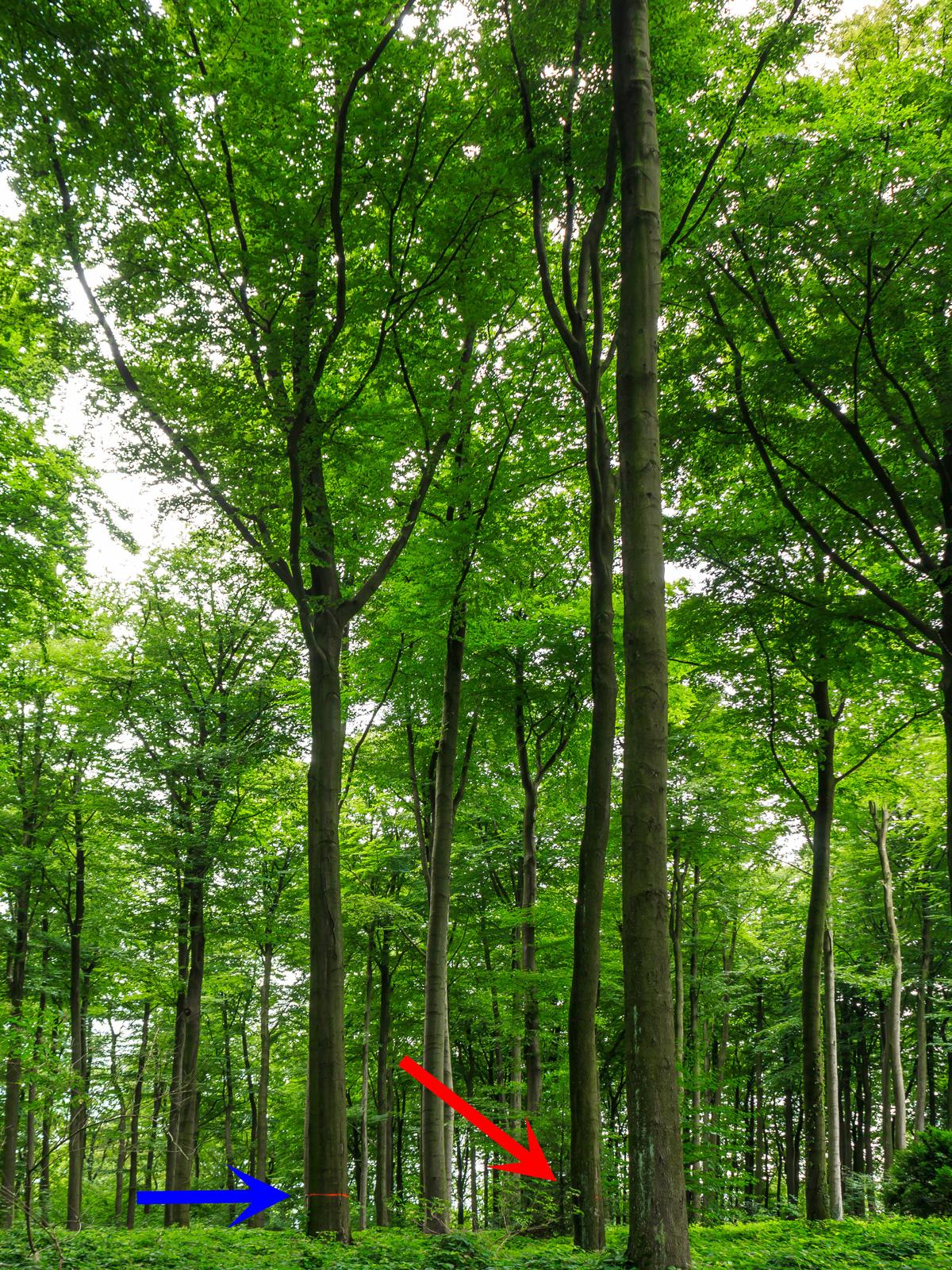 Z-Baum links (blauer Pfeil), angeblicher Bedränger rechts (roter Pfeil)
