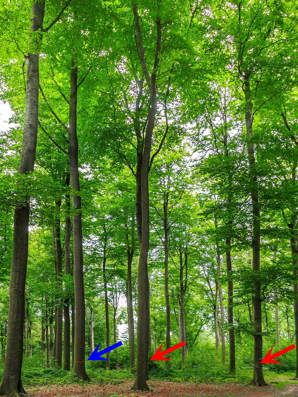 Z-Baum links (blauer Pfeil), 2 angebliche Bedränger rechts (rote Pfeile)