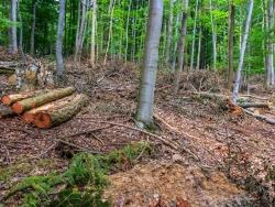 aufgerissener Waldboden, Verwüstung im Buchenwald