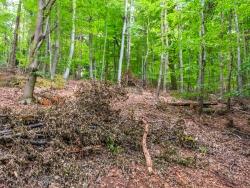 Reste eines naturfernen Buchenwaldes