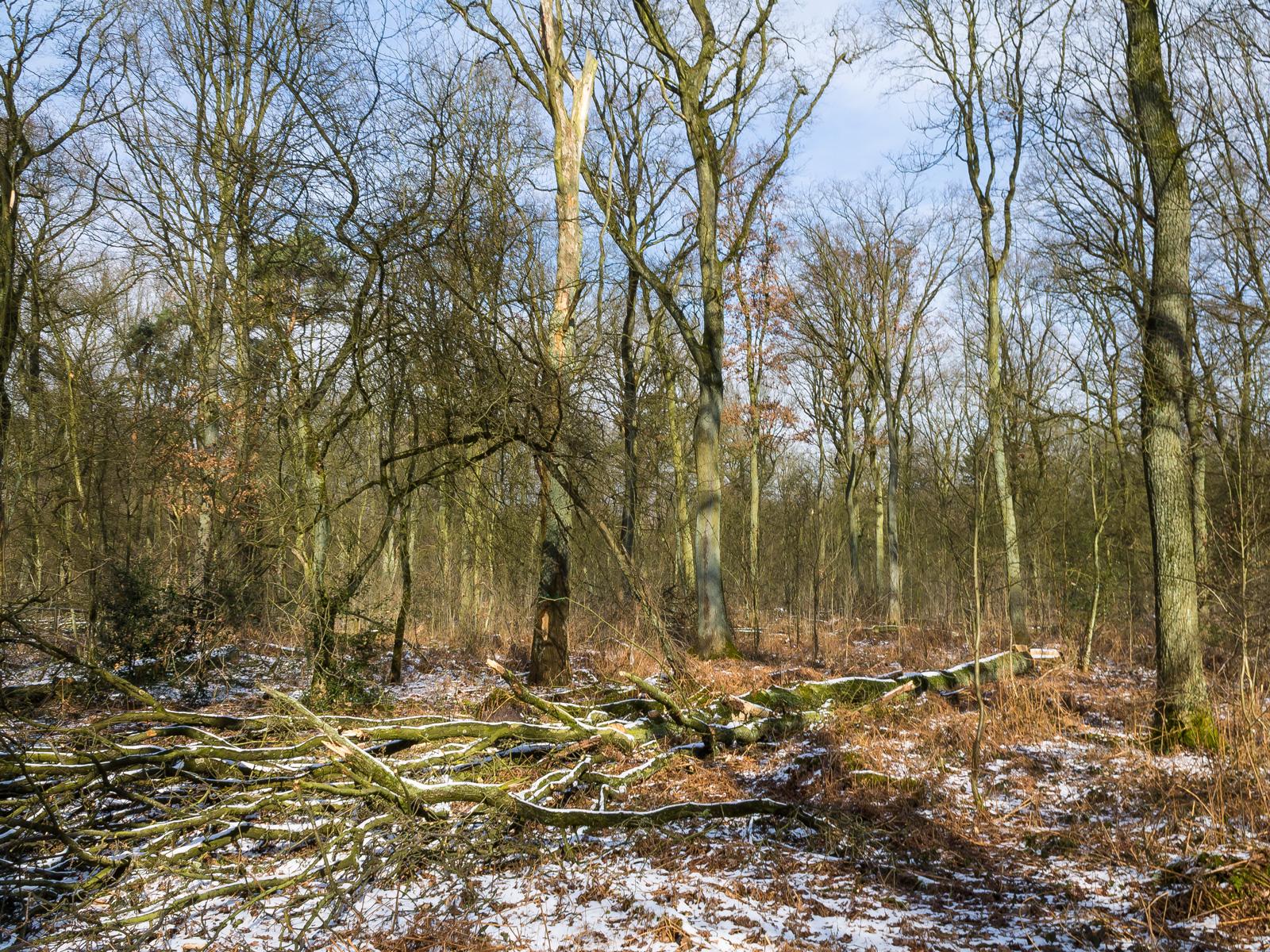 Gefällte Eiche 200 m nördlich der Pfalzgrafenstraße