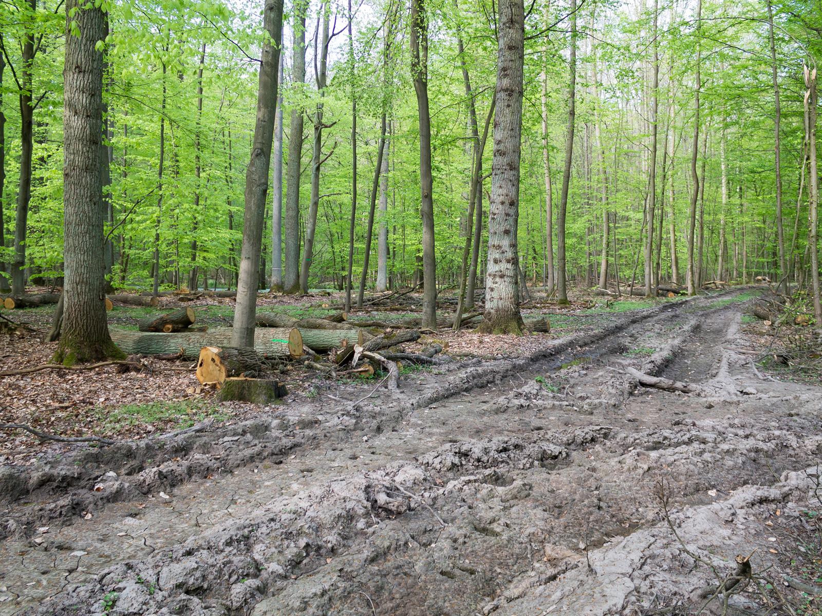 Verdichteter Waldboden in den Rückegassen