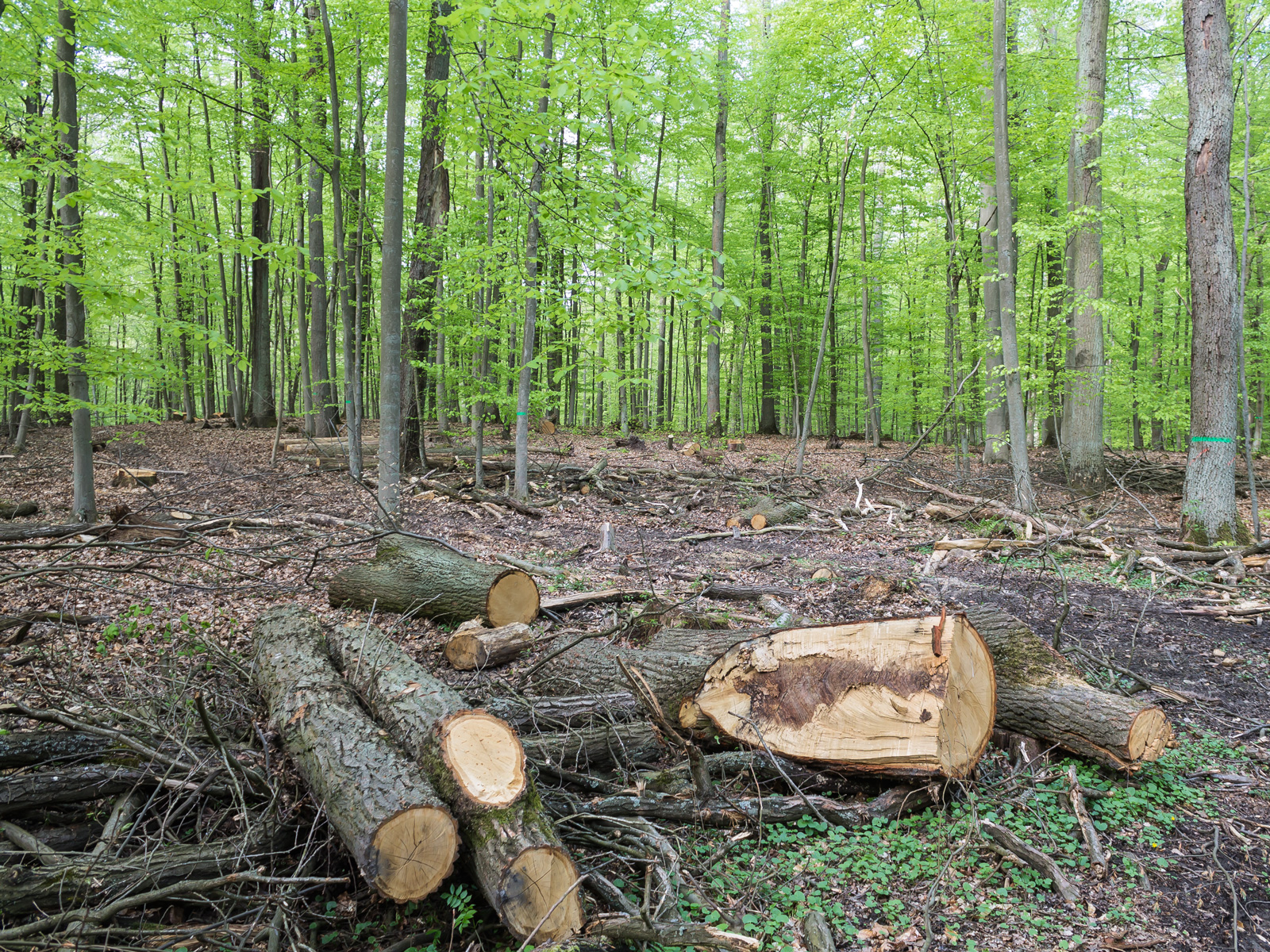 Baumstümpfe wohin man blickt