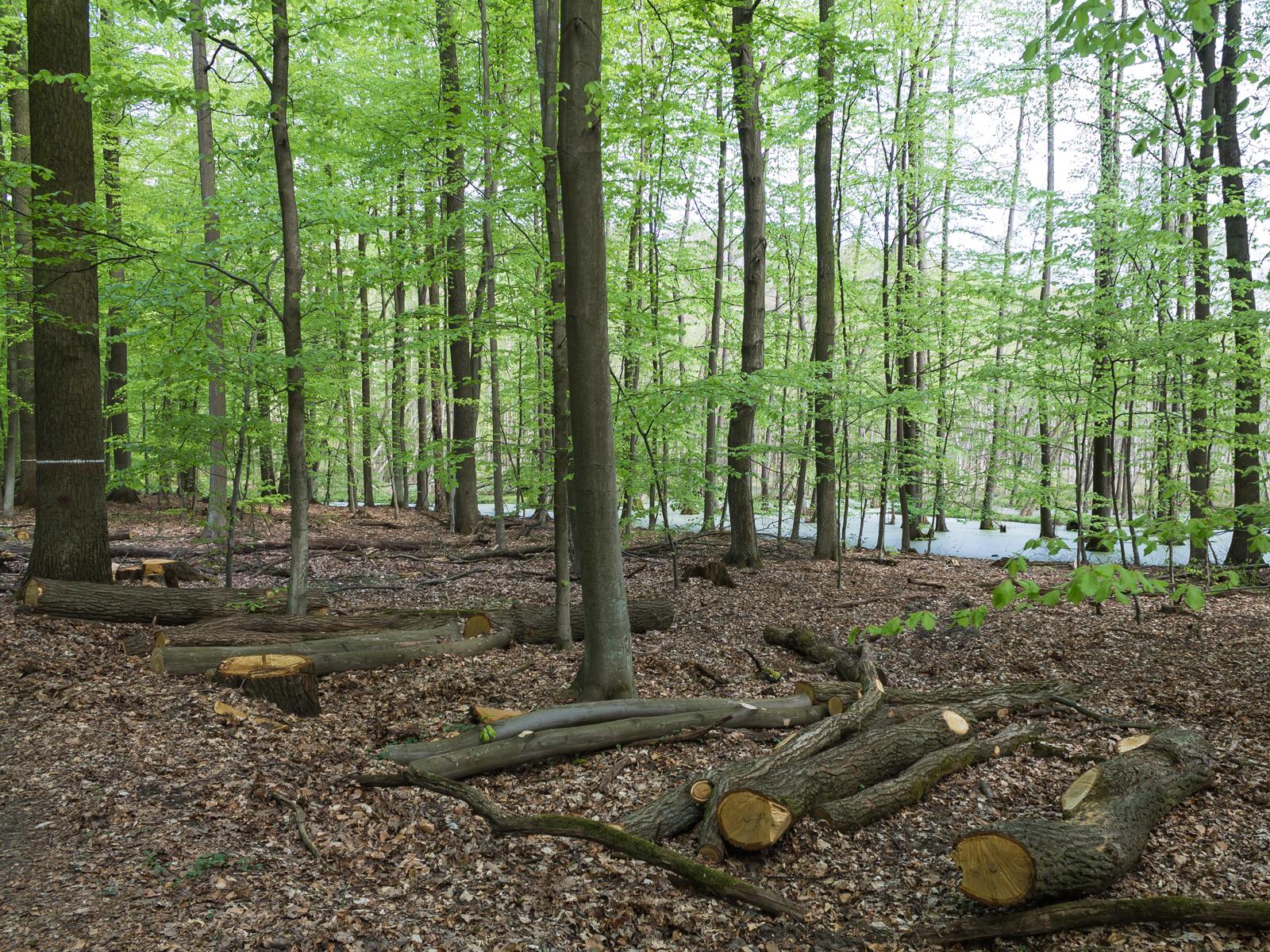 Holzfällarbeiten neben Erlen-Bruchwäldern