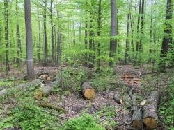 Überall Baumstümpfe und -stämme