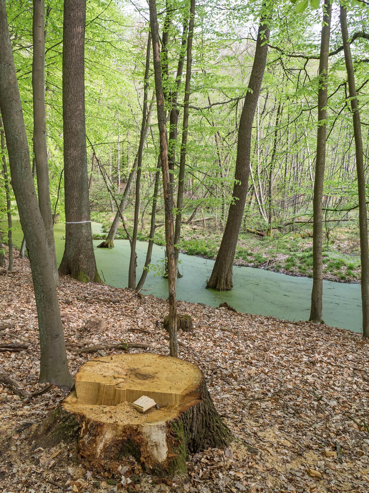 Eichenbaumstumpf vor einem Tümpel