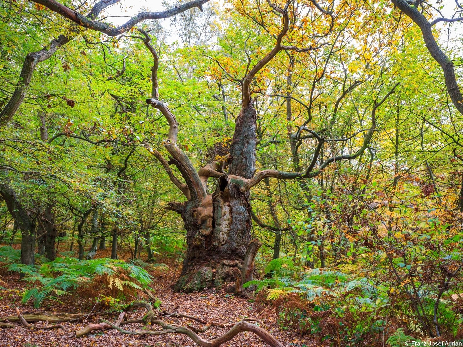 vermutliche über 800 Jahre alte Eiche im Nordwesten des Großen Vilm