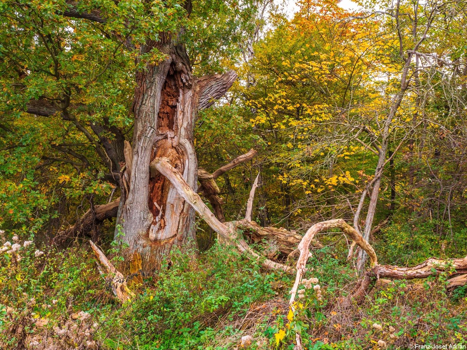 Eiche mit ausgehöhltem Stamm im Südteil des Großen Vilm