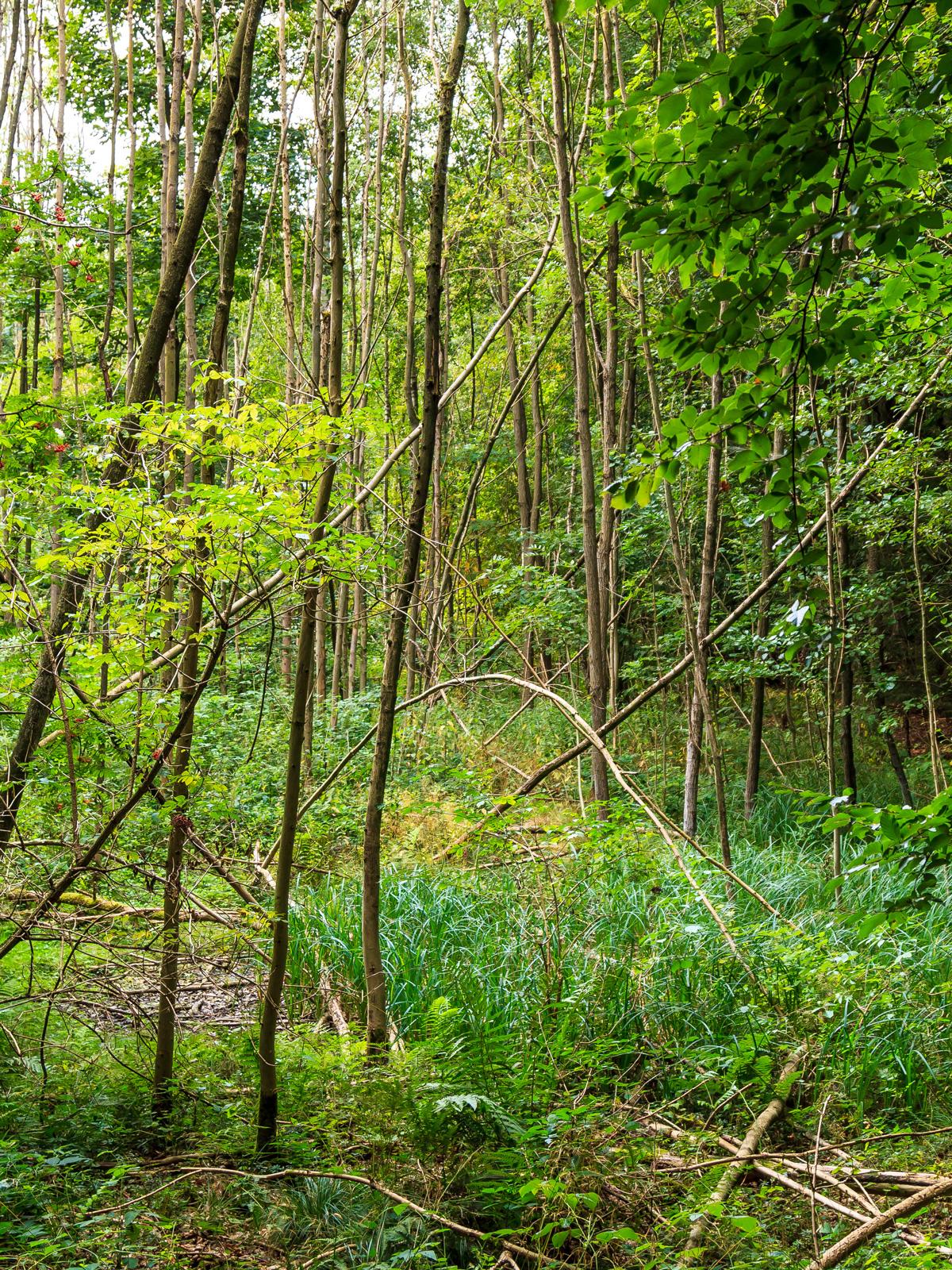 Sumpf mit abgestorbenen Eschen