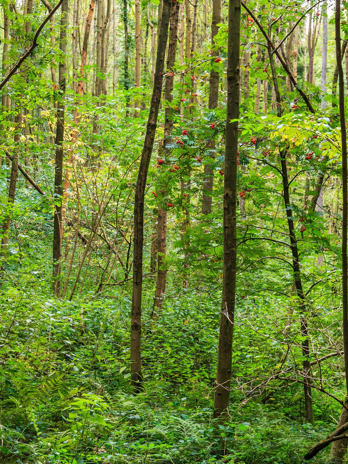 Vogelbeerbäume im Sumpfgebiet