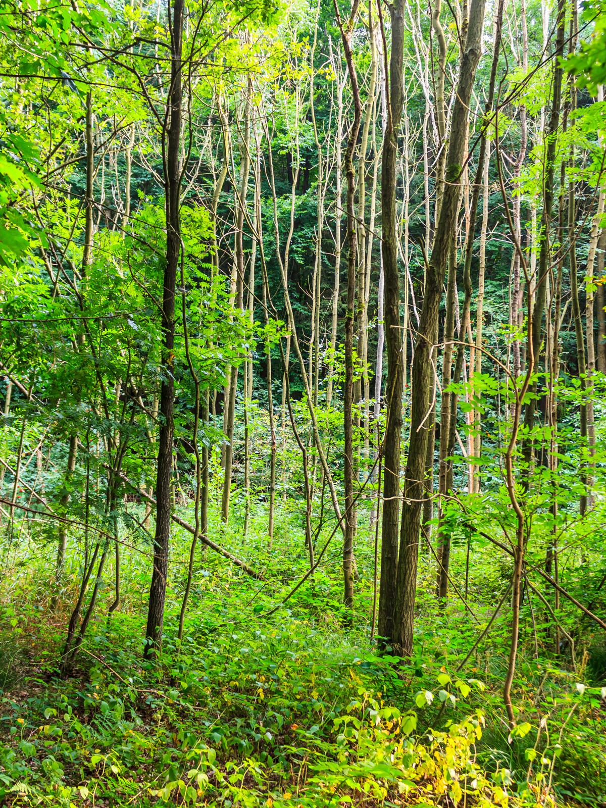 Sumpf mit vielen abestorbenen Eschen