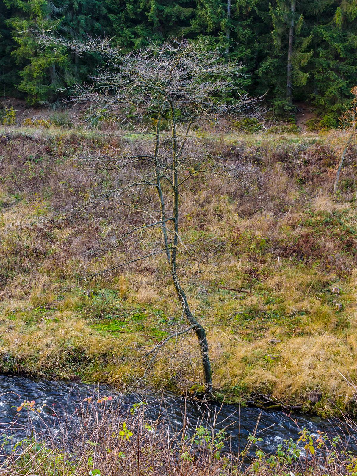 Erle inmitten von degradiertem Boden