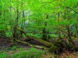umgefallene Eiche im Erlenbruchwald
